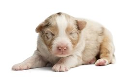 Australian Shepherd puppy sleeping. 12 days old against white background royalty free stock photo