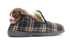 Australian Shepherd puppy sleeping in a slipper Stock Photos