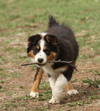 Australian Shepherd puppy with stick. Puppy playing with stick in her mouth Stock Images