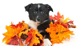 Australian Shepherd Puppy Royalty Free Stock Photography