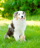 Australian shepherd puppy and tiny kitten sitting together on th Stock Image
