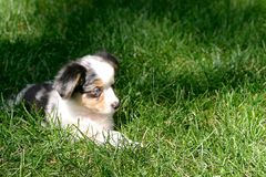 Australian Shepherd Puppy Stock Photography