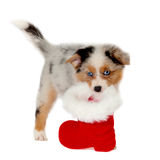 Australian Shepherd puppy wearing Christmas boots isolated Royalty Free Stock Photos