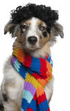 Australian Shepherd puppy wearing a wig Royalty Free Stock Images