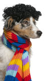 Australian Shepherd puppy wearing a wig Royalty Free Stock Photo
