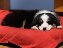 Australian shepherd puppy. Australian Shepherd purebred puppy, 2 months old sleeping on the lair. Black Tri color Aussie dog at home stock image