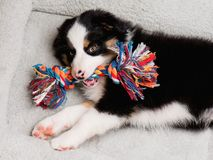Australian shepherd puppy. Australian Shepherd purebred puppy, 2 months old with toy. Black Tri color Aussie dog at home on the lair Stock Photos