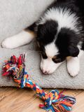 Australian shepherd puppy. Australian Shepherd purebred puppy, 2 months old with toy. Black Tri color Aussie dog at home on the lair Stock Photography