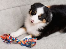 Australian shepherd puppy. Australian Shepherd purebred puppy, 2 months old with toy. Black Tri color Aussie dog at home on the lair Royalty Free Stock Photography