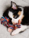 Australian shepherd puppy. Australian Shepherd purebred puppy, 2 months old with toy. Black Tri color Aussie dog at home on the lair Royalty Free Stock Photo