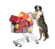 Australian Shepherd pushing a shopping cart Royalty Free Stock Photo