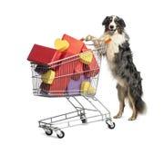 Australian Shepherd pushing a shopping cart. Full of presents against white background Royalty Free Stock Photo