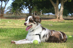 Australian Shepherd at Rest. After a long Play session, it is time to catch your breath and rest Stock Photos