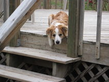 Australian Shepherd resting on stairs. An Australian Shepherd dog lying down on the on a wooden deck staring straight at camera with its head and paw hanging off Royalty Free Stock Image