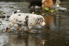 Australian shepherd in the river royalty free stock photos