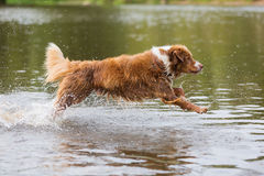 Australian Shepherd is running in a river Royalty Free Stock Photography