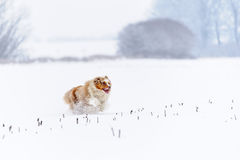 Australian Shepherd running on snowy field stock images