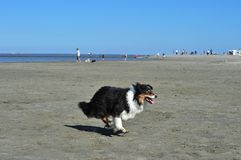 Australian Shepherd running on strand Stock Photo