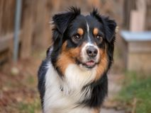 Australian Shepherd running towards camera stock image