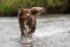 Australian Shepherd runs through the water Stock Photos
