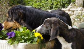 Australian shepherd and segugio italiano dogs Stock Image