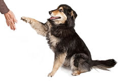 Australian Shepherd Shaking Hands Stock Images
