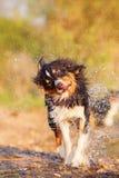Australian Shepherd shaking the wet fur Royalty Free Stock Images