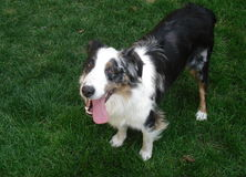Australian Shepherd Shelter Dog Royalty Free Stock Images