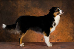Australian Shepherd in show stack pose Royalty Free Stock Photography