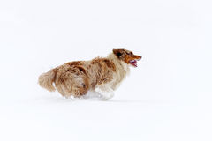 Australian Shepherd from side view running on the snow field Royalty Free Stock Image