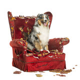 Australian Shepherd sitting on a detroyed armchair, isolated Stock Photo