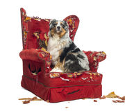 Australian Shepherd sitting on a detroyed armchair, isolated Royalty Free Stock Photo