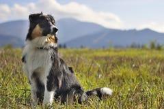 Australian shepherd. Sitting on grass in full sun stock photography