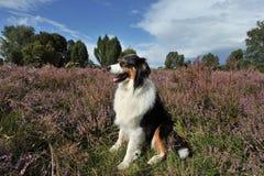 Australian Shepherd. An Australian Shepherd is sitting in the Lüneburger Heide Germany Stock Photos