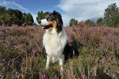 Australian Shepherd Stock Photos