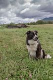Australian Shepherd sitting and looking away in a farm royalty free stock photo