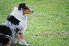 Australian Shepherd Sitting. Australian shepherd sits in a field while waiting for direction from the handler Royalty Free Stock Image