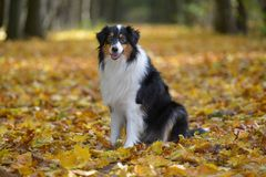 Australian Shepherd. Is sitting in wood in autumn Royalty Free Stock Image