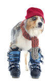 Australian shepherd and ski shoes Stock Photo