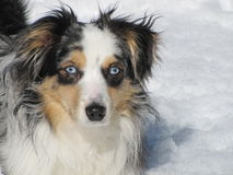 Miniature American Shepherd In The Snow. Blue Eyed Miniature Australian Shepherd In The Snow stock photo