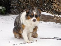 Dog Playing with A Stick In The Snow Royalty Free Stock Photography
