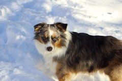 Miniature American Shepherd In The Snow. Blue Eyed Miniature Australian Shepherd In The Snow royalty free stock images