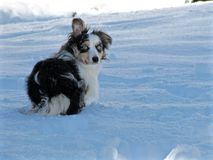 Australian Shepherd In The Snow Stock Photography