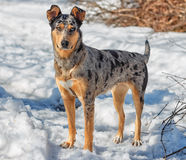 Australian shepherd. Snow Spring of 2013 Vitebsk Royalty Free Stock Photos
