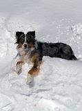 Australian Shepherd on Snowbank Stock Photography