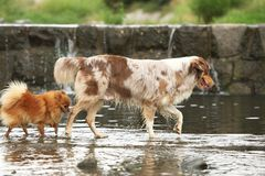 Australian shepherd and Spitz in the river royalty free stock image