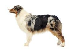 Australian shepherd standard in white studio. Australian shepherd standard in a white studio royalty free stock images