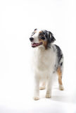 Australian Shepherd Standing. Stock Photos