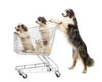 Australian Shepherd standing on hind legs Stock Photo
