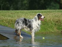 Australian shepherd standing in pond Royalty Free Stock Photos